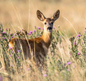 Deer Management Swindon